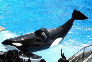 Tilikum the whale, SeaWorld