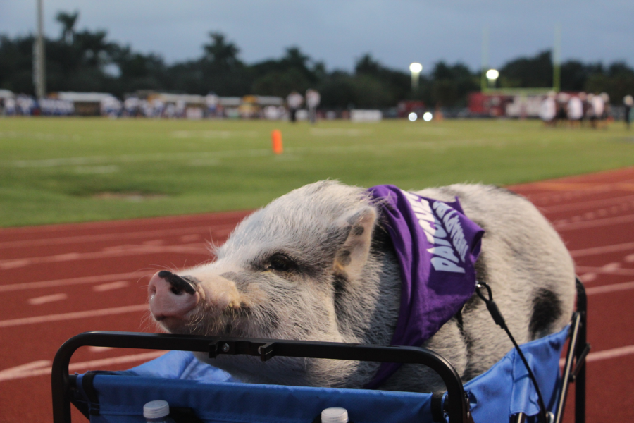 Patches the Pig sitting on the sidelines ready for the big win and kiss from the Coral Springs High School principal. Photo credit Bryan Nguyen