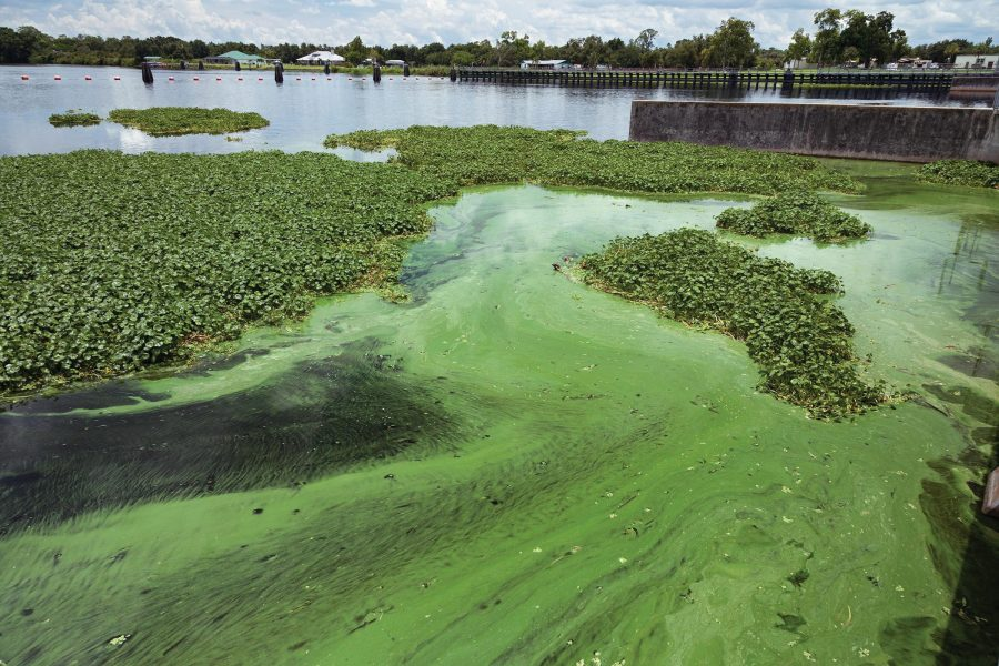 Seas+of+Green.+Algae+in+the+Caloosahatchee+River+beside+the+W.P.+Franklin+Lock+and+Dam+in+Alva%2C+Florida%2C+July+11%2C+2018.+Environmental+worry+that+legislation+being+pushed+by+Florida+Senate+President+Bill+Galvano+to+build+three+new+toll+roads+will+lead+to+suburban+sprawl+that+exacerbates+Florida%E2%80%99s+water+quality+problems.+Photo+courtesy+of+Greg+Lovett%2FThe+Palm+Beach+Post%2F+TNS