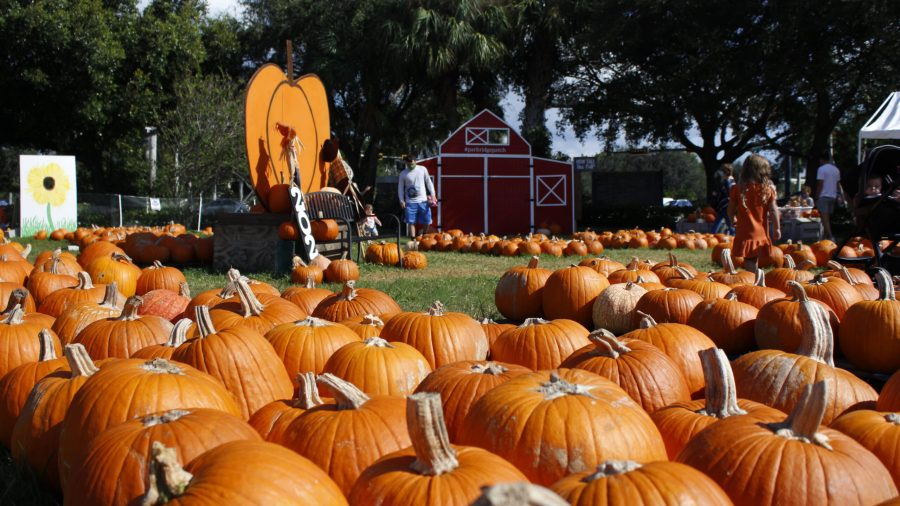 A+pumpkin+patch+with+decorations+and+visitors.